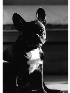 bulldog, black and white