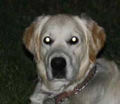 dog vision - eyes of dog in the dark