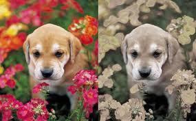 dog vision - human:dog comparison
