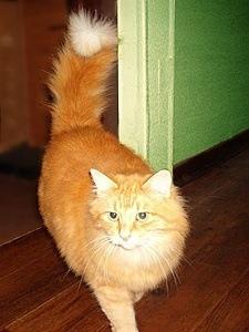 erect tail