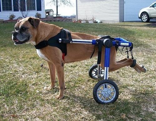 perro con silla de ruedas
