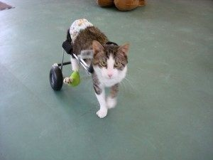 gato paralítico en silla de ruedas