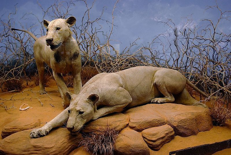 Tsavo man-eaters reconstructed at the Field Museum of Natural History in Chicago