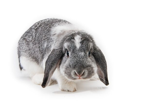 Holland lop breed