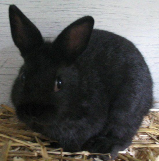 Netherland dwarf breed