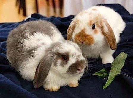 domestic rabbit breeds - Holland lop
