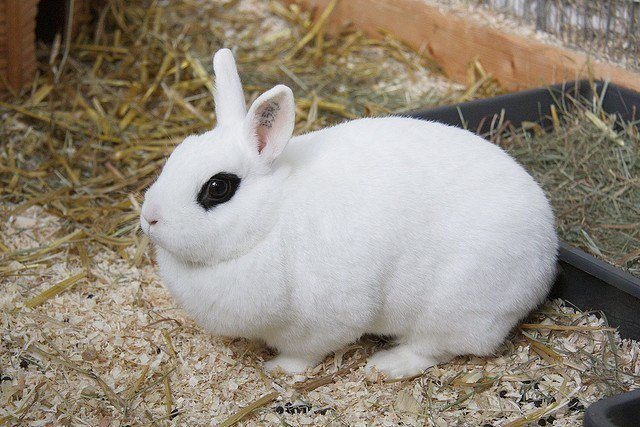 domestic rabbit breeds - Hotot