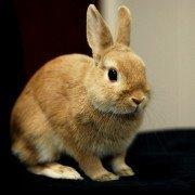 domestic rabbit breeds