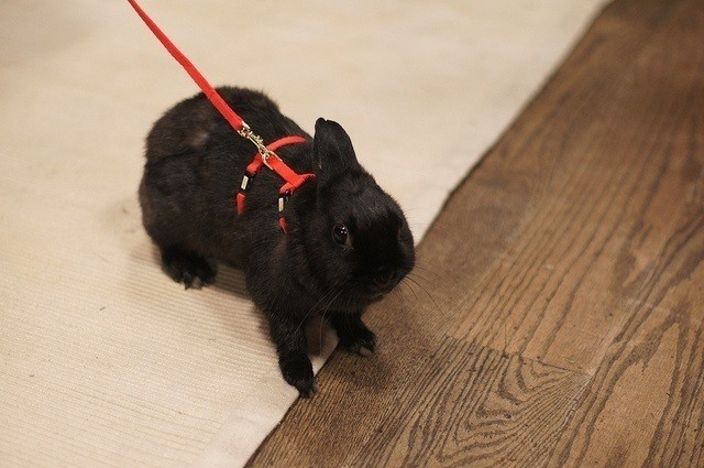 harness for rabbits