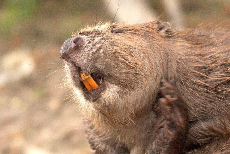 beaver teeth