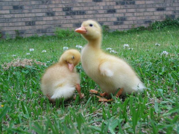 Raising a pet duck