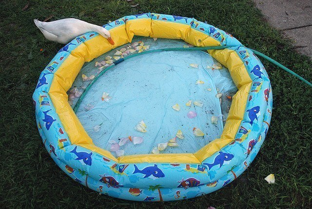 raising a pet duck - kiddie pool