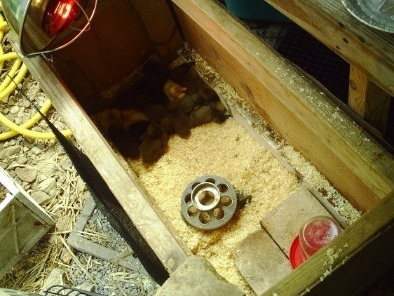 raising a pet duck - timber box with heat lamp