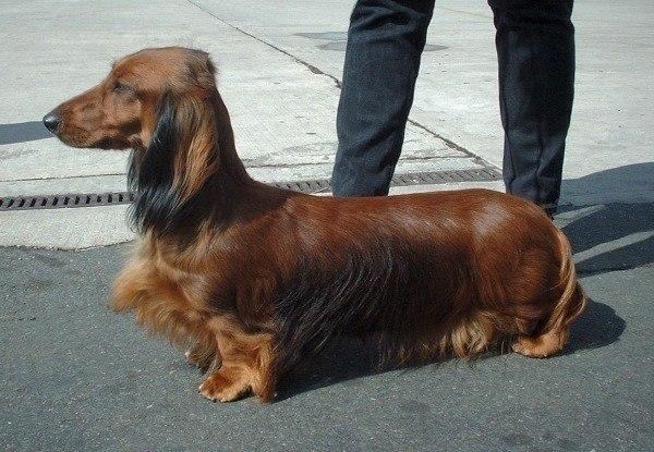 Dachshund (long-haired)