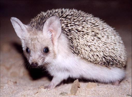 Egiptian Hedgehog