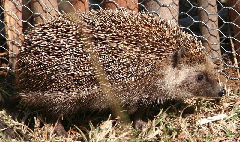 Hedgehogs as pets - African Pigmy Hedgehog