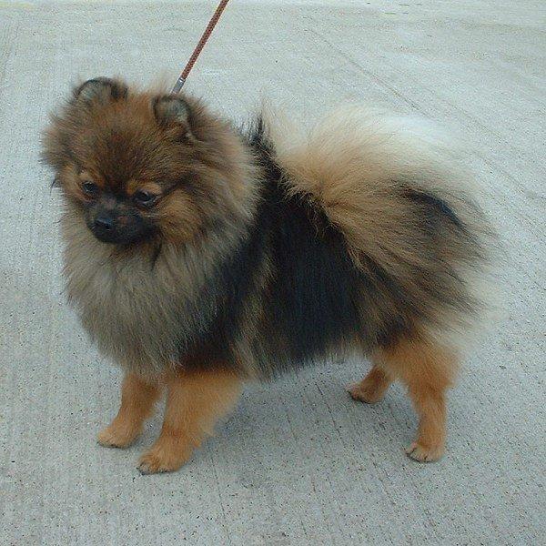 Pomeranian breed