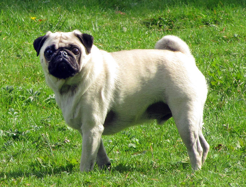 Small dogs - Carlino or Pug