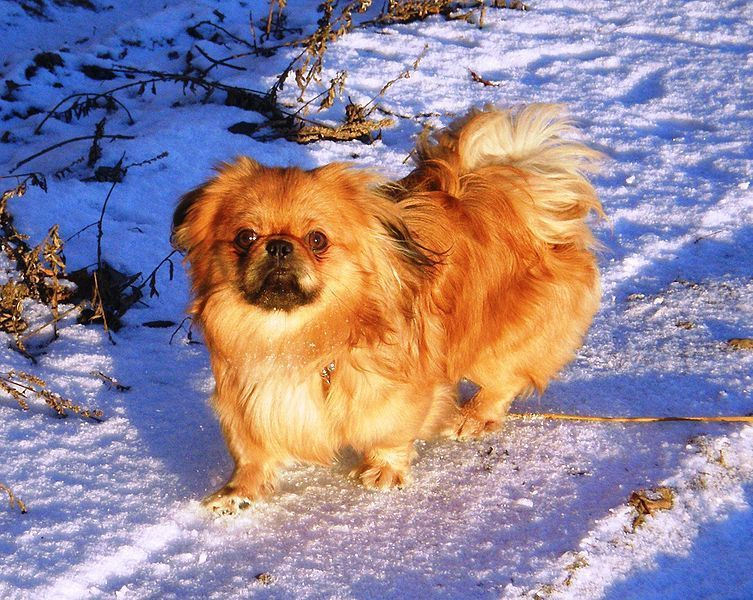Small dogs - Pekinese