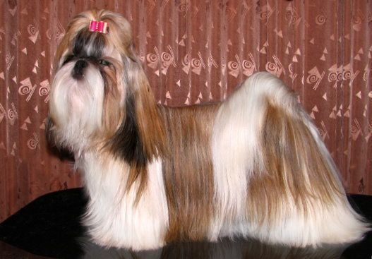 Small dogs - Shih Tzu