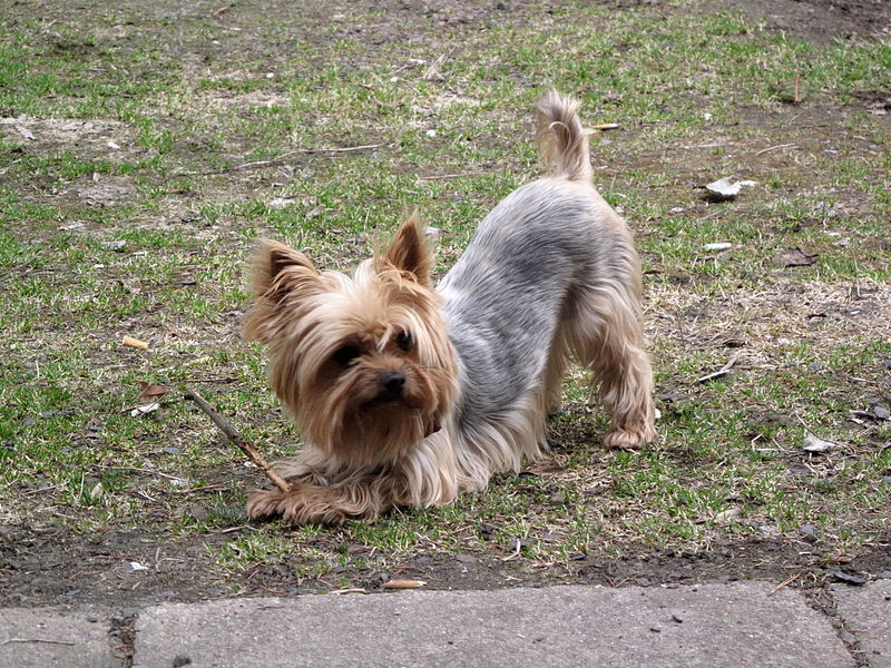 10 Popular Small Dog Breeds Animaltia