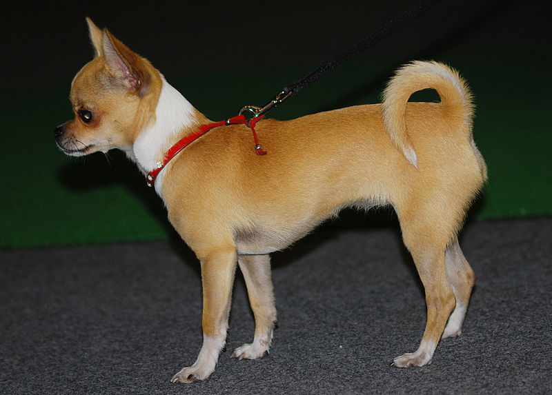 10 Popular Small Dog Breeds Animaltia