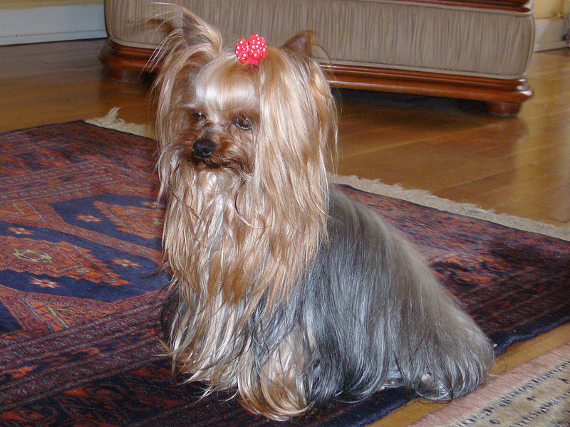 Yorkshire terrier- long hair