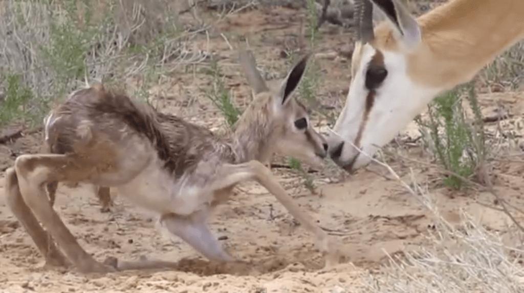 animals making first steps