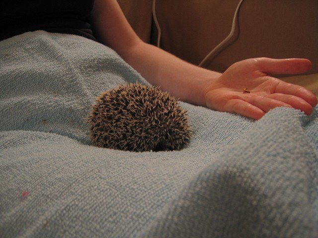 hedgehog curling into a ball
