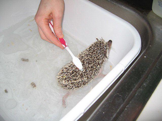 hedgehogs as pets - bath time
