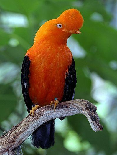rainforest birds - Andean cock-of-the-rock, male