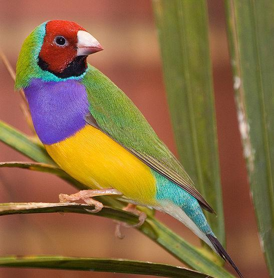 rainforest birds - Gouldian finch, male