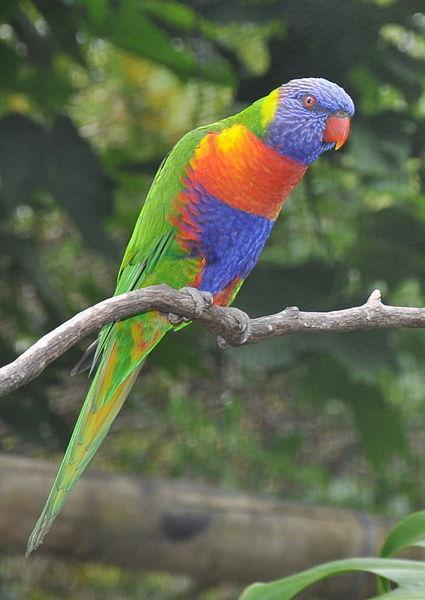 rainforest birds - rainbow lorikeet