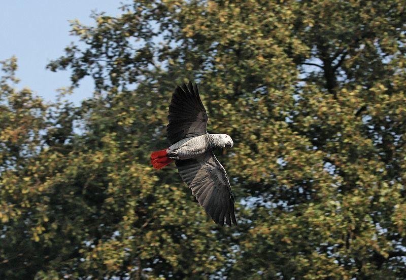 Grey parrot flying in his wild habitat