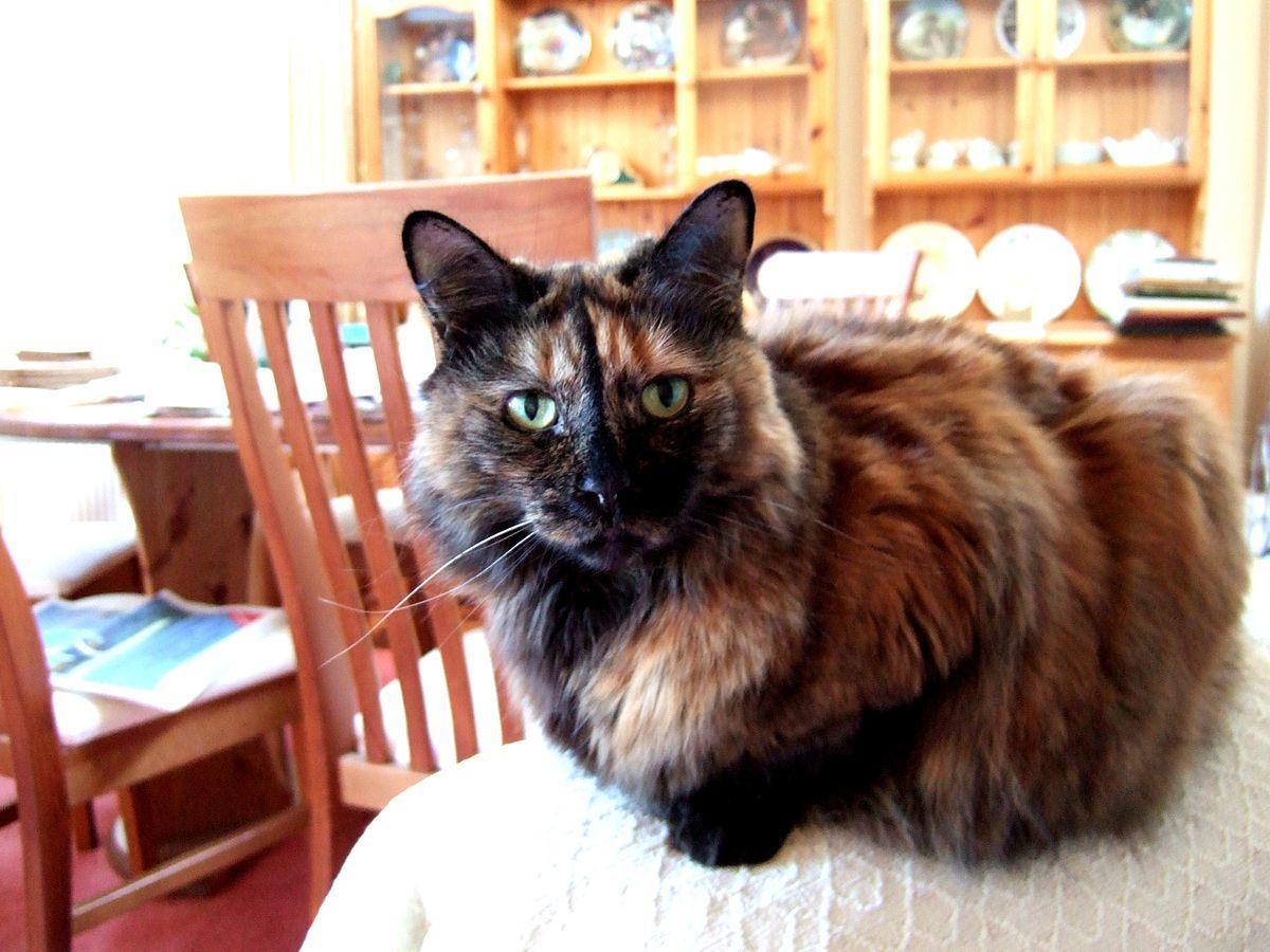 Carey cat with long hair