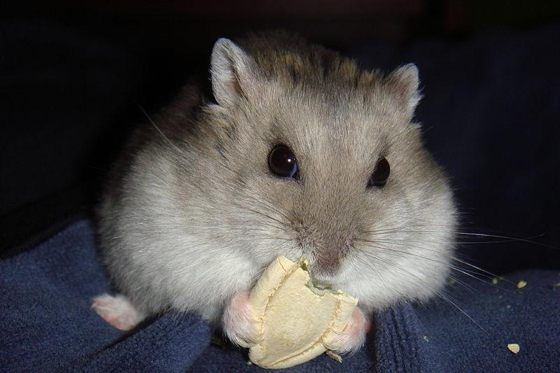 Siberian hamster eating