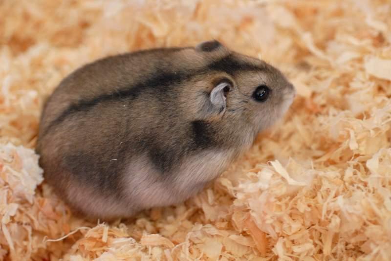 Siberian hamster