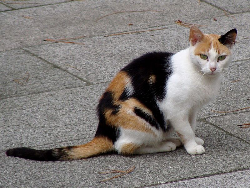 Tricolor, calico cat