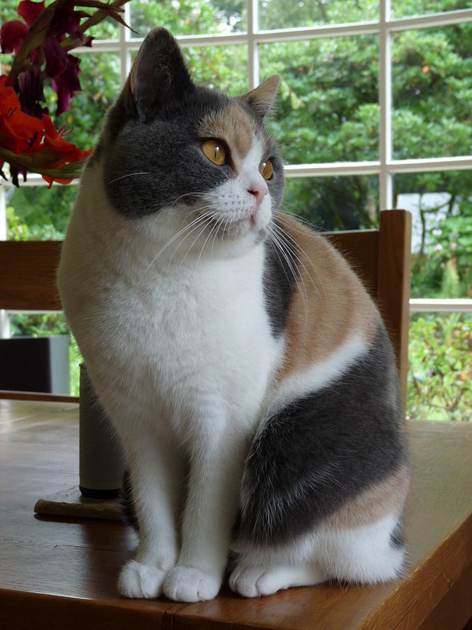 calico cat in diluted colors