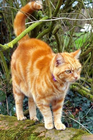 female, orange-colored cat