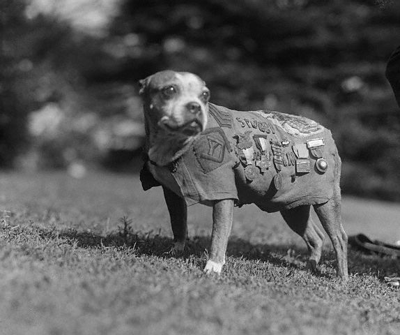 Sergeant Stubby with medals