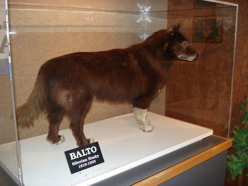 Balto in museum